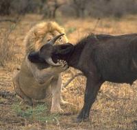 Simba hamli